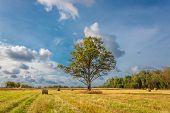 Lone Oak Tree On The Field.