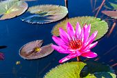 Close Up Of Pink Lotus