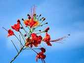 stock photo of dwarf  - A Dwarf poinciana Flower fence with morning - JPG