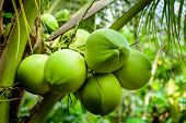 picture of tropical food  - Green coconut - JPG
