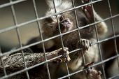 stock photo of marmosets  - Small monkey in a cage of a zoo  - JPG