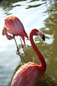 stock photo of pink flamingos  - Close up of pink flamingos in a zoo - JPG