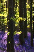 stock photo of harebell  - Beautiful fresh morning in Spring bluebell forest - JPG