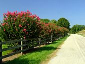 Row of Crepe Myrtle along Fence