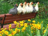 Chickens enjoying the Flower Garden