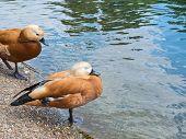 Pair of two brown ducks