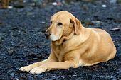 Golden Labrador Retriever Laying On Gravel Bar In Seward