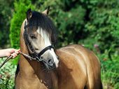 Portrait Of Beautiful  Welsh Pony
