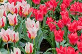 Striped and red tulips on the flowerbed