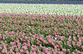 Field of hyacinth