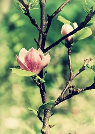pic of saucer magnolia  - Abloom flower of magnolia tree in summertime - JPG