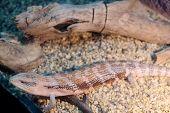 image of amphibious  - The image of a lizard - JPG