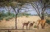 foto of antelope  - Herd of wild antelopes on the desert in Rajasthan - JPG
