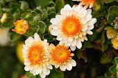 picture of chrysanthemum  - Colorful yellow white autumnal chrysanthemum background - JPG