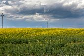 picture of rape  - Rape field - JPG