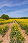 stock photo of rape  - Rape field with blue sky - JPG