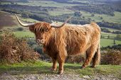 picture of highland-cattle  - A Highland Cow in the Peak District - JPG