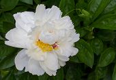 foto of blown-up  - Blown white peony close-up. Flowers and gardens ** Note: Shallow depth of field - JPG