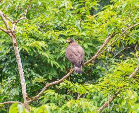 picture of serpent  - Crested Serpent Eagle resting on a perch in forest - JPG