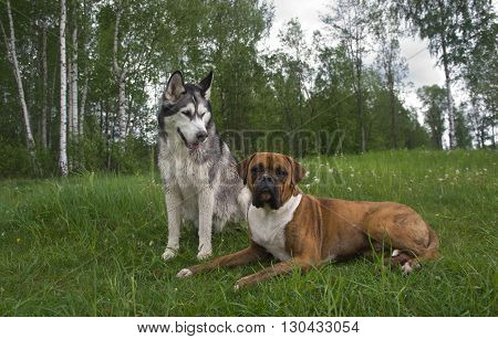poster of several dogs outdoors,Breed of a dog boxer and malamute, Dog dog, Brown, Tiger strips,color white with gray and black,the wood,lies on a grass,