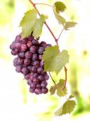 pic of grape-vine  - Red grape cluster with leaves - JPG