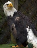 Eagle In Captivity