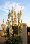 Yucca Twilight