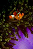 False clownfish in anemone looking into camera
