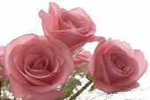 stock photo of pink roses  - a bouquet of fresh pink roses isolated against a white background - JPG