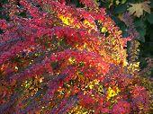 Flaming Bush