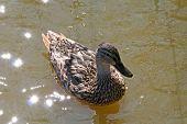 Duck And Sun Glintes.