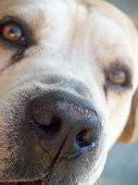 image of seeing eye dog  - closeup of a dogs face boerbull breed