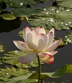 Blume, Rosa Lotus