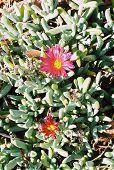 Picture of flowering cactus.