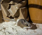 A Wild Brown House Mouse, Mus Musculus, Covered In White Flour And Standing In A Pile Of It In Front poster