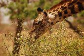 Giraffe in Tarangire NP, Tanzania
