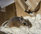 Side View Of A Wild Brown House Mouse, Mus Musculus, Covered In White Flour, Standing In Front Of A  poster
