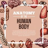 Human Body Anatomy Sketch Vector Poster Of Internal Organs Of Digestive, Respiratory And Vital Syste poster