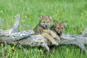 6209Baby Wolves Montana