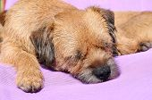 picture of border terrier  - a Border Terrier dog asleep in the sun - JPG