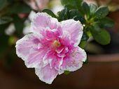 Big Pink Azalea Or Rhododendron In Garden. Season Of Flowering Azaleas (rhododendron). Colorful Azal poster