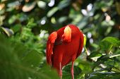 Scarlet Ibis bird