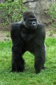 Animal Gorilla Stance