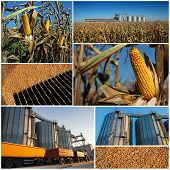 Corn Growing And Harvesting. Collage Of Photographs Showing Ripe Maize Corn On The Cob In Cultivated poster