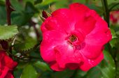 Rose Flower, Closeup View. Summer Flower Of Red Rose Blooming In The Garden. Rose Flower, Closeup Of poster