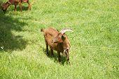 Goat Eating In Asturias