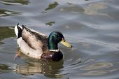 Curiuos Duck