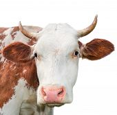 Funny cow looking at the camera isolated on white background. Spotted red and white cow with a big s poster