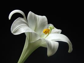 picture of single flower  - White Lily a beautiful specimen of this flower lit by natural daylight with black background - JPG