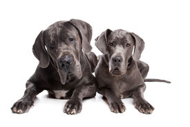 image of great dane  - Two grey great Dane dogs on front of a white background - JPG